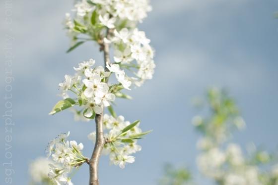 blossom02a