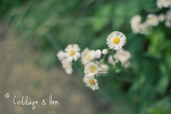 white daisy2