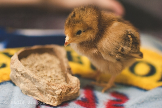 chickens04